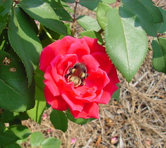 Bee asleep in rose (coveman) Tags: red rose insect bee coveman flickrific flowerpicturesnolimits bestnatureshots
