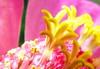 Happy Ramadan (Hamed Saber) Tags: pink flower macro yellow geotagged happy persian iran islam persia saber gathering iranian ramadan ایران hamed islamic isfahan ramazan farsi ايران حامد tiran رمضان فارسی ايراني فارسي ايرانيان حامدصابر صابر ایرانیان پرشيا پرشیا upcoming:event=235013 ramedan experienceramadan1428