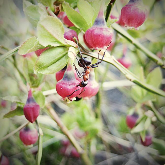 myra & blåbär