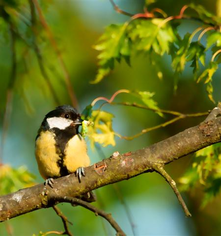 My Great Tit (Small)