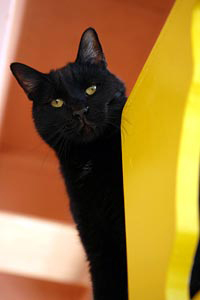 Black cats like this one are adoptable