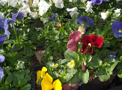 Pansies, Closer View