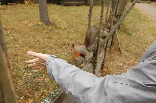 seurasaari squirrel