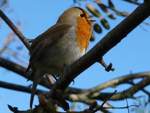 23599 - Robin, Dorset