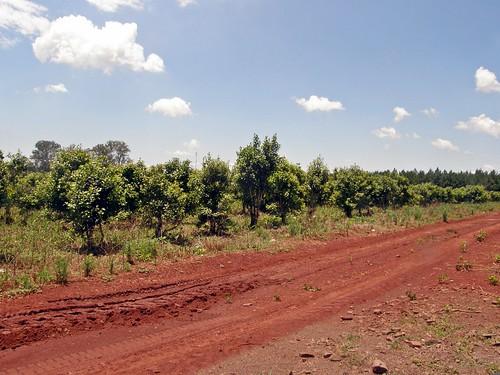 plantacion de yerba mate 4