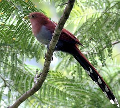 Costa Rica: Squirrel Cuckoo (spiderhunters) Tags: piayacayana squirrelcuckoo