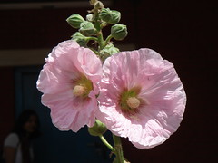Althaea Heart flower (jk10976) Tags: flowers nepal fab flores flower primavera rose marina fleurs garden spring asia searchthebest blossoms blumen kathmandu blooms fiori raj joshi kamal pinkflowers althaea blueribbonwinner flowerotica flickrsbest abigfave anawesomeshot impressedbeauty ultimateshot superbmasterpiece beyondexcellence jk10976 jkjk976