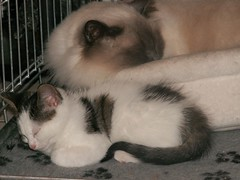 Najim and Kaylee (Mandy Verburg) Tags: pet animal female cat kat feline pussy kitty ek predator huisdier dier pussycat poes kaylee roofdier katachtige cyper thebiggestgroup mandyarjan thebiggestgroupwithonlycats