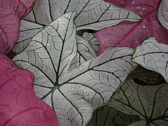 White and Pink Leaves (jadalles1533) Tags: light white flower colour detail green art water floral beautiful closeup contrast wow wonderful droplets leaf hit stem soft gorgeous awesome great best minimal textures excellent veins lovely macros fabulous simple incredible tones fragile magnificent nopostprocessing masterpiece caladium excellence nocropping blueribbonwinner flle nocoloradjustment magicofaworldinmacro exactlyasphotographed flolea