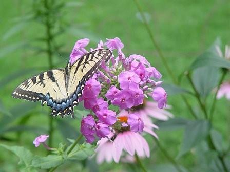 TigerSwallowtail-Phlox