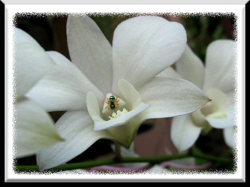 A tiny spider adding pattern to the lovely orchid flower! Don't you think this picture frame is as lovely too?