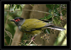 Male Figbird (Barbara J H) Tags: bird nature canoneos10d wildlife australia qld faun australianbirds australianwildlife maroochydore figbird sphecotheresviridis birdsofaustralia australianfauna featheryfriday specnature animaladdiction specanimal birdphotos animalkingdomelite wildlifeofaustralia barbarajh avianexcellence malefigbird faunaofaustralia australiannaitvebird