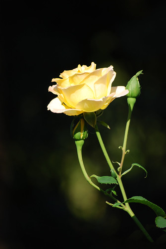 Yellow Rose, Afternoon Light