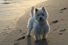 Wee Westie Backlit on the Beach (Randy Son Of Robert) Tags: ocean dog pet white beach sand surf westie canine explore terrier yoshi weewestie