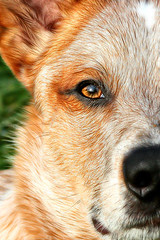 Parker Once Again (5706) (zingpix) Tags: red usa dog dogs jeff washington all cattle  australian explore rights queensland jeffrey australiancattledog reserved heeler acd blueheeler herding allrightsreserved zingpix jeffjaquish jaquish jeffreyjaquish