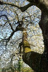 Le cerisier centenaire à La Grosse Talle (Beer Bergman) Tags: france arbres frankrijk printemps cerisier deuxsèvres poitoucharentes kersenboom patrimoinenaturel mellois lagrossetalle sepvret paysmellois