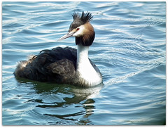 Waiting! (macfudge1UK) Tags: uk summer england lake bird nature water fauna europe wildlife waterbird lakeside sos waterfowl oxfordshire grebe 2010 oxon greatcrestedgrebe podicepscristatus allrightsreserved hs10 bbcspringwatch avianexcellence stoatinshot lttf justgeotaggedflowersandwildlife fujifilmfinepixhs10 fujihs10 rspblovenature