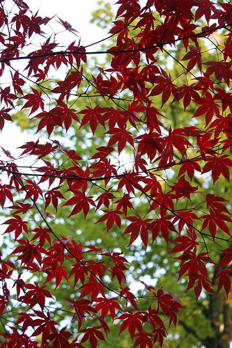 Red Japanese maple leaves against green