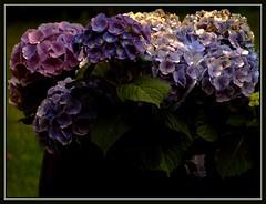 I got the blues (Kirsten M Lentoft) Tags: blue flower garden pot hortensia abigfave momse2600 kirstenmlentoft