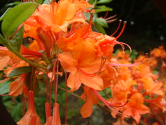 A riot of Orange (Ron in Blackpool) Tags: flower flora ron curtis flore roninblackpool roncurtis