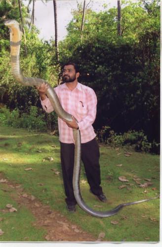 Indian King Cobra