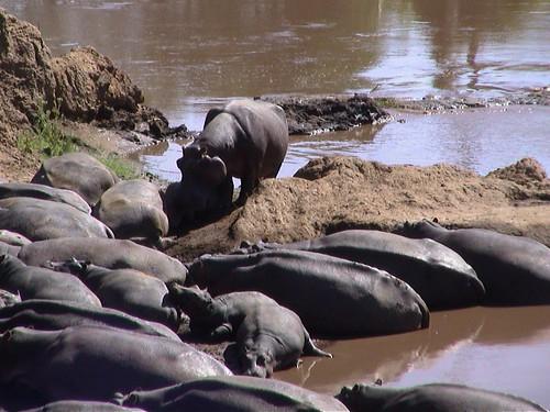Mara Hippos