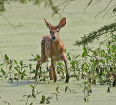 Whitetail Fawn by Dave Mellenbruch (David Mellenbruch) Tags: county dave jackson refuge nwr ias muscatatuck mellenbruch