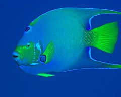 Angelfish (Z Eduardo...) Tags: blue fish scubadiving cozumel angelfish coralreef naturesfinest underwather aplusphoto superhearts carebeansea