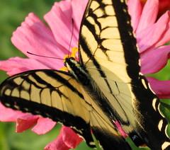 Tiger Swallowtail on my zinnia