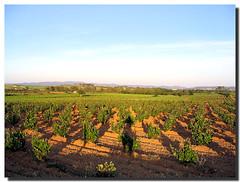 Vineyards and I / Viñedos y yo - by . SantiMB .