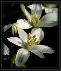 Filled with stars (Kirsten M Lentoft) Tags: white flower closeup garden excellence abigfave aplusphoto momse2600 infinestyle flickrelite masterphoto kirstenmlentoft