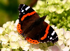 Butterfly on one of my hydrangeas. (tijmenkroes) Tags: butterfly garden ilovenature tuin vlinder naturesfinest vanessaatalanta blueribbonwinner flickrsbest top10nature platinumphoto impressedbeauty aplusphoto beemte naturewatcher