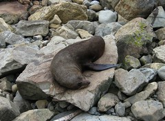 New Zealand South Island . Ohau Point Seal Colony. (1054) (pjwar) Tags: newzealand southisland pjwar