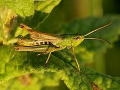 Chorthippus parallelus (Walwyn) Tags: green meadow grasshopper orthoptera warwickshire raynox twtmeblogged chorthippusparallelus walwyn draycotemeadows