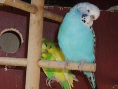 Jango and Sapphire (Chris....) Tags: bird budgie eneerc