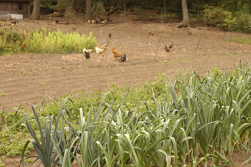 the island - leeks and chickens