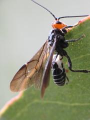 Braconid (No...Ichneumon)  Wing Views (zosterops) Tags: macro australia tasmania hobart hymenoptera insecta apocrita ichneumonidae raynoxdcr250 canonpowershotsx10is braconidmimic ctenopelmatinae westwoodiaruficeps