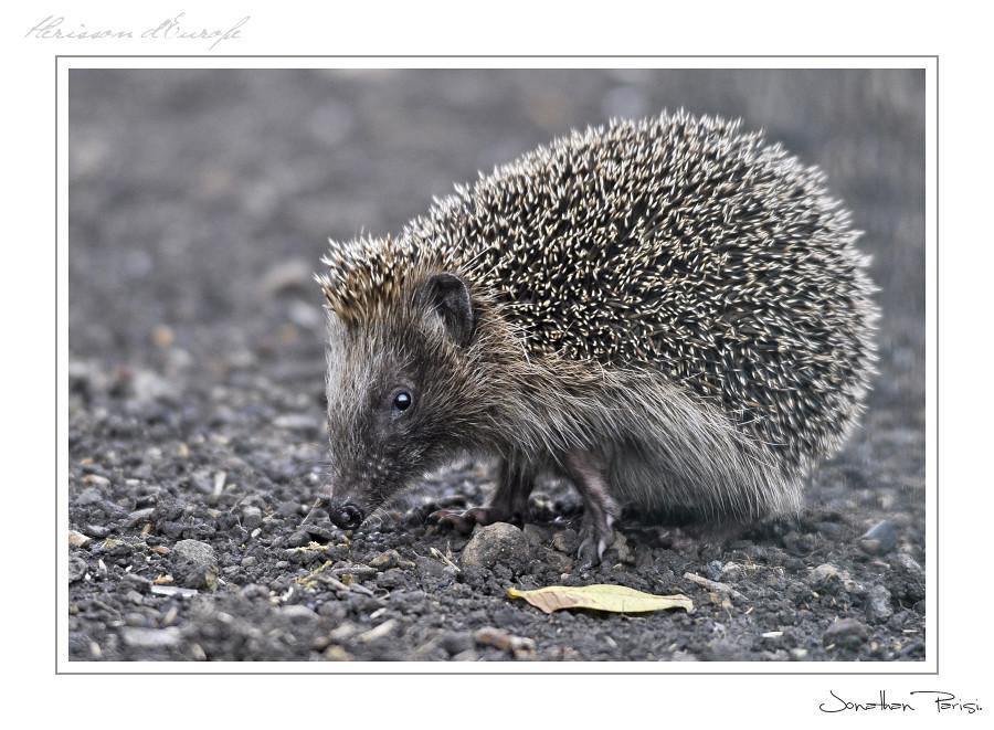 Sonic le petit hérisson... 5105176999_9bae5bc639_b