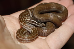 Cape House Snake (erikpaterson) Tags: house snake cape lamprophis capensis