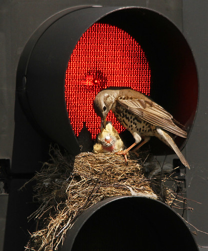 Traffic Light Thrush