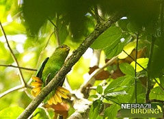 Golden-tailed Parrotlet - Touit surdus