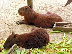 Capybara o ronsoco (Marcos GP) Tags: peru rain forest rainforest selva iquitos peruvian amazonia purix marcosgp