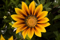 Sunny (proudof7) Tags: flowers macro nature yellow sunny naturesfinest flickrsbest diamondclassphotographer flickrdiamond