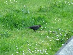 Mwyalchen / Blackbird (Ellyll) Tags: bird nature june natur blackbird mehefin aderyn aderyndu mwyalchen 20070610