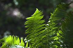 Farn (anjadoering) Tags: plants fern berlin germany pflanzen farn britzergarten deuschland