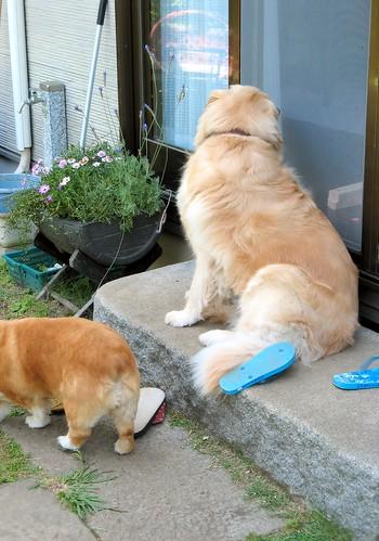 Dogs Invade Garden Again!