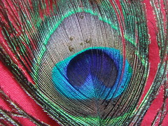 peacock feather (jk10976) Tags: nepal asia feather peacock naturesfinest blueribbonwinner kathamandu flickrsbest shieldofexcellence anawesomeshot aplusphoto ultimateshot diamondclassphotographer flickrdiamond jk10976 excellentphotographerawards flickrelite theunforgetablepicture brillianteyejewel jkjk976