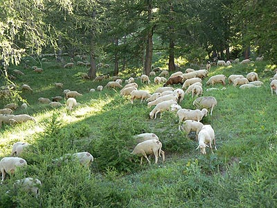 moutons verdon.jpg