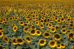 Girasole (Andrzej Wodzinski) Tags: italien italy photography sunflowers tuscany fotografia toscana girasole italie wlochy sloneczniki toskania andrewwodzinski andrzejwodzinski andrewlouk