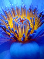 Lotus (Romain [ apictureourselves.org ]) Tags: flowers flower nature fleur fleurs plante geotagged lotus closeups newcaledonia nouvellecaledonie macrogroup flowerphotography sonydsch9 flowercloseupsgroup flowerphotographygroup